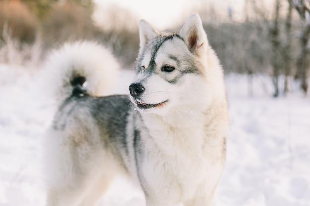 Chien husky sur un champ neigeux dans la forêt de l'hiver. chien de race Photo Premium