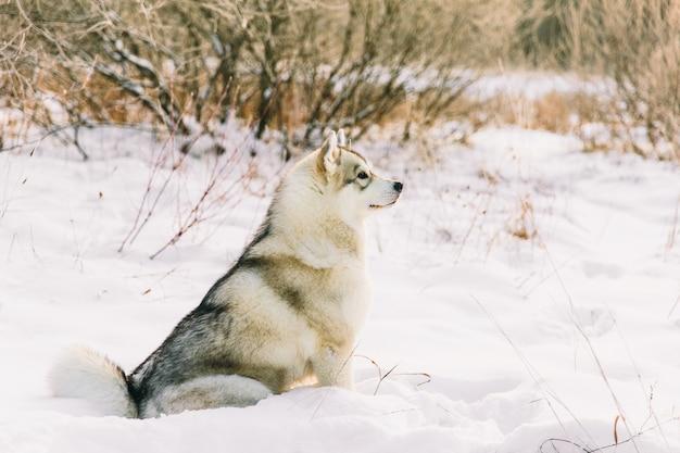 Chien husky sur un champ neigeux dans la forêt de l'hiver. pedigree chien assis sur la neige Photo Premium