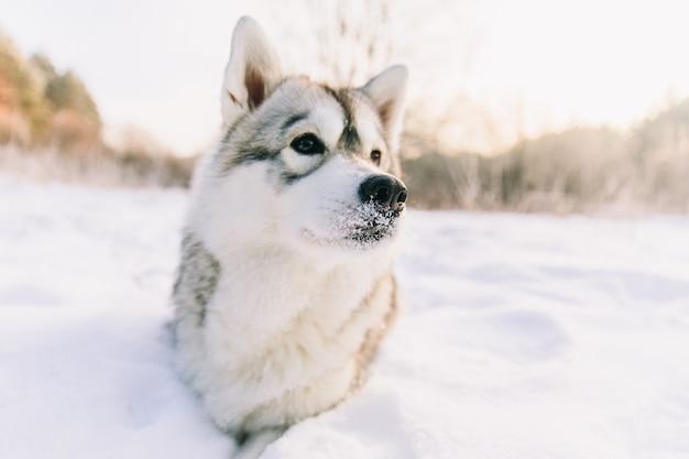 Chien husky sur un champ neigeux dans la forêt de l'hiver. pedigree chien couché sur la neige Photo Premium