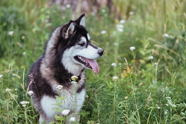 Chien husky sur un pré dans l'herbe verte luxuriante regardant au loin avec sa langue sortie. Photo Premium