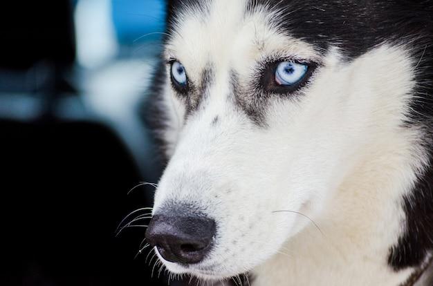 Un chien husky de sibérie aux yeux bleus regarde autour de lui. gros plan hus Photo Premium