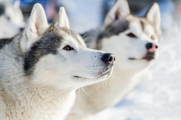 Chien husky sibérien en plein air Photo Premium