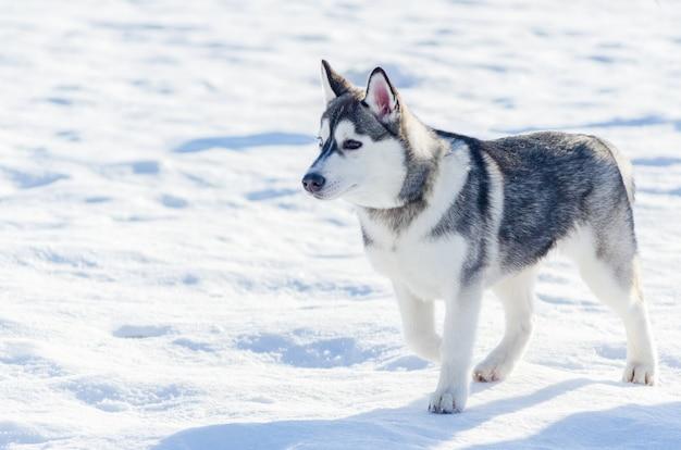 Chien husky sibérien promenade en plein air Photo Premium
