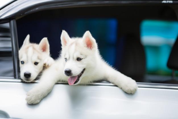 Chien husky sibérien sur un très divertissant Photo Premium