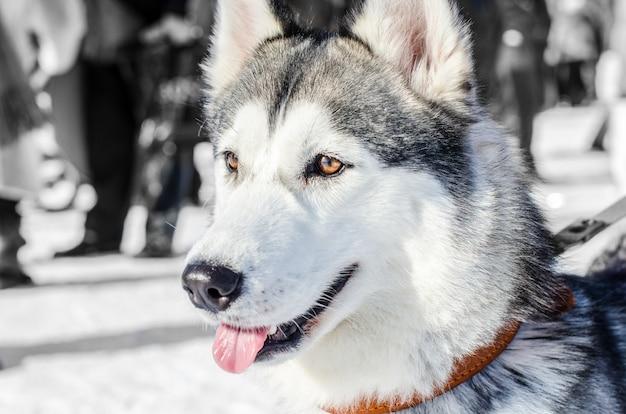 Chien husky sibérien. yeux marrons. le chien husky a une robe noire et blanche. Photo Premium