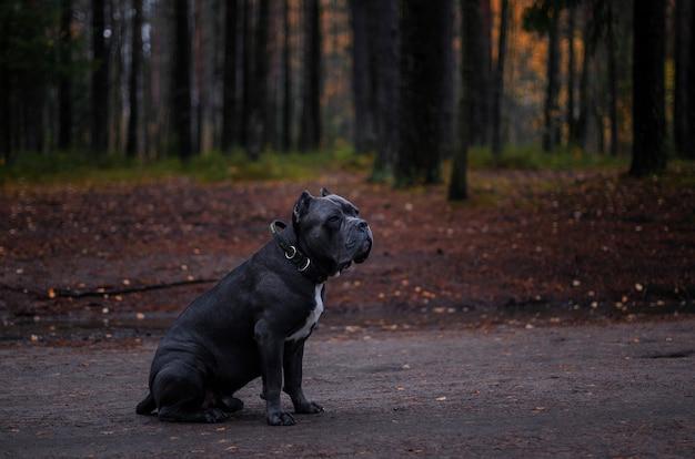Chien italien de cane corso assis sur la route dans la forêt d'automne. Photo Premium