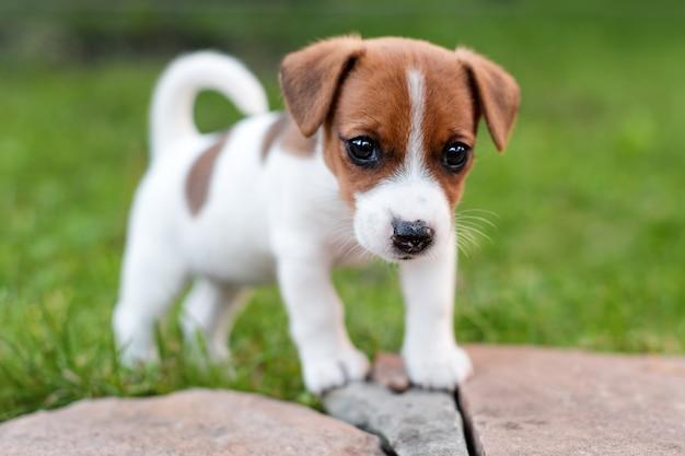 Chien Jack Russell Sur Prairie D'herbe. Petit Chiot Se Promène Dans Le Parc, L'été Photo Premium