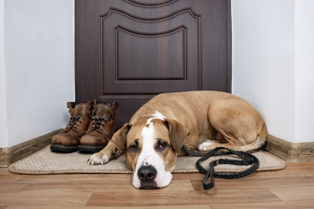 Chien En Laisse En Attente D'une Promenade. Chien Staffordshire Terrier Avec Une Laisse Allongée Sur Un Paillasson Près De La Porte D'entrée De L'appartement. Photo Premium