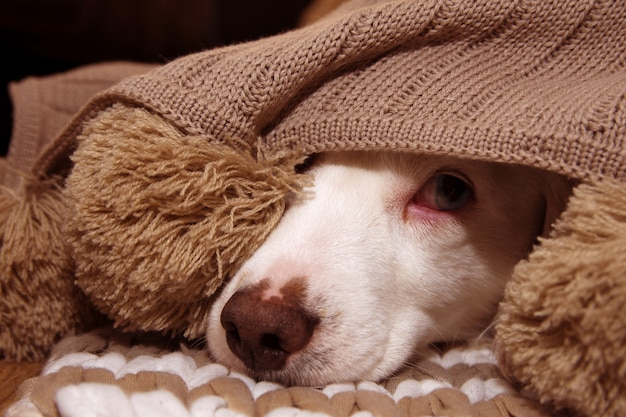 Chien malade ou épudié, couvert d'un couverture de pompage chaud Photo Premium