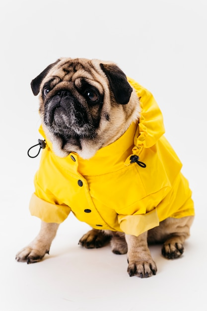 Chien mignon posant dans des vêtements jaunes vives Photo gratuit