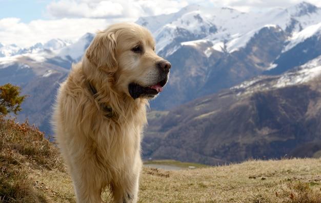 Chien De Montagne Des Pyrénées, Fond De Neige Photo Premium