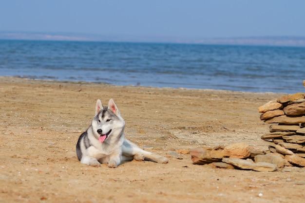 Chien Sur La Plage. Husky Sibérien Profitant D'une Journée Ensoleillée Près De La Mer. Photo Premium