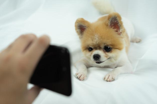Chien poméranien, je regarde un smartphone sur le lit Photo Premium