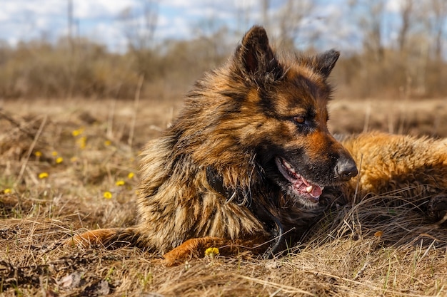 Chien de race berger allemand Photo Premium