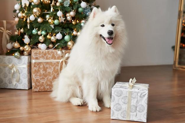 Chien de race blanche samoyed sur nouvel an Photo Premium