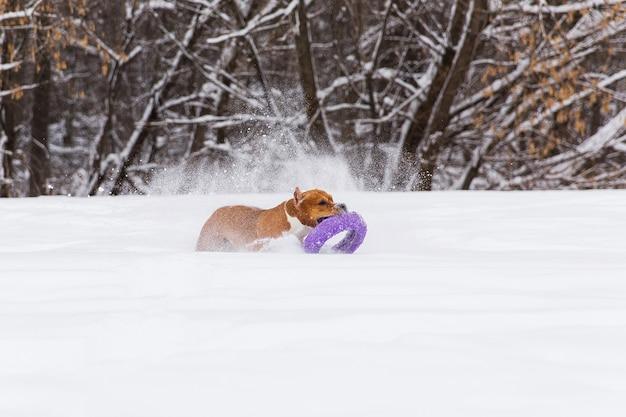 Chien de race brune jouant avec un jouet rond dans la neige dans une forêt. staffordshire terrier Photo Premium