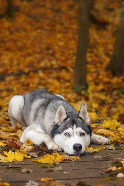 Chien De Race Husky Gris Couché Sur Un Pont En Bois Dans Le Parc De L'automne Photo Premium