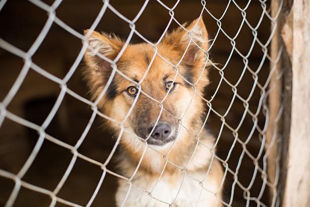 Le chien sans abri derrière les barreaux regarde avec des yeux énormes et tristes Photo Premium