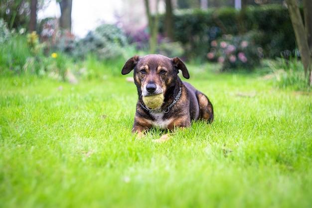 Un chien se reposant avec sa balle de tennis a été trouvé dans le jardin Photo Premium