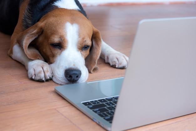 Les chiens beagle travaillent dans le bureau à l'ordinateur. Photo Premium