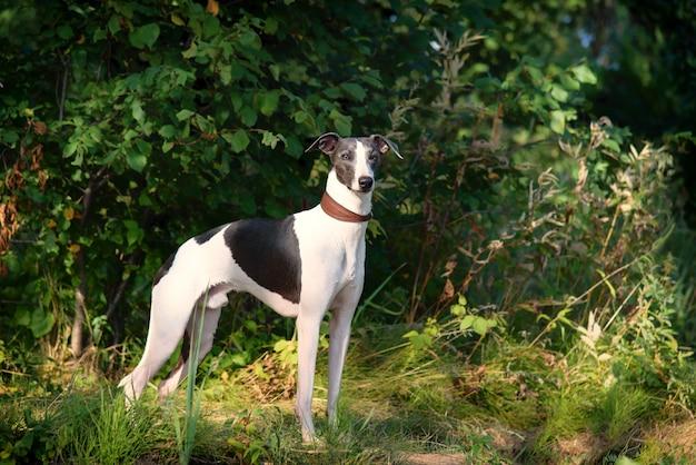 Chiens de race whippet, chiens de chasse aux lévriers Photo Premium