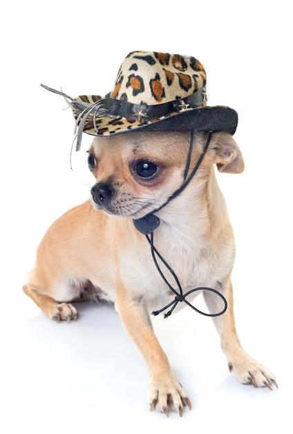 Chihuahua en studio Photo Premium