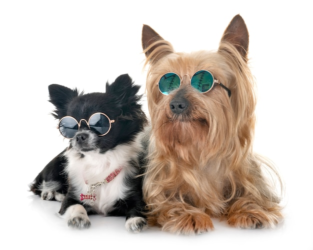Chihuahua Et Yorkshire Photo Premium