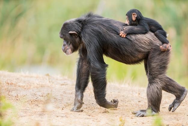 Chimpanzé commun avec un bébé chimpanzé Photo Premium