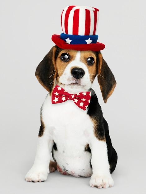 Chiot Beagle Américain Photo gratuit
