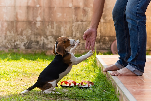 Chiot beagle mignon jouant avec le propriétaire Photo Premium