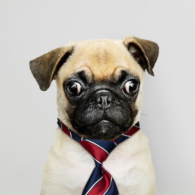 Chiot carlin affaires portant cravate Photo gratuit