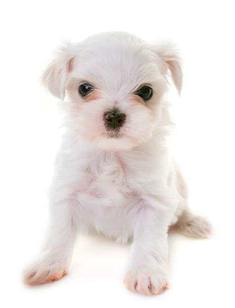 Chiot chien maltais Photo Premium