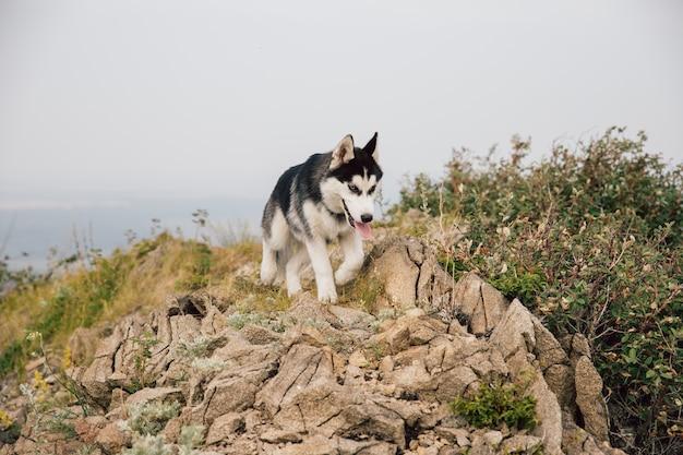 Un chiot chien noir et blanc, husky, court au sommet d'une montagne rocheuse avec des fourrés d'arbustes. Photo Premium