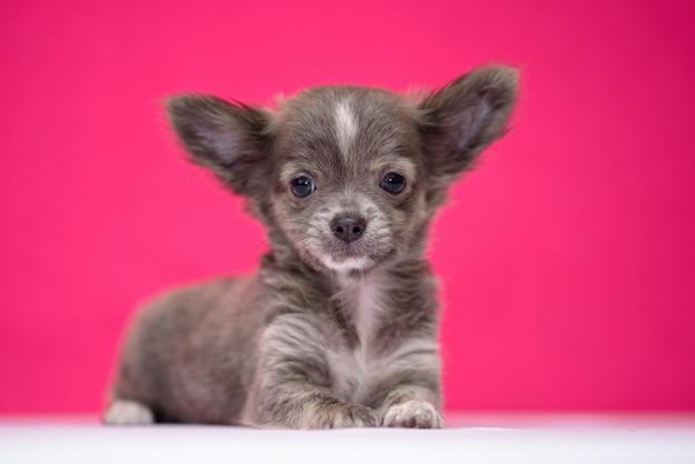 Le chiot chihuahua aux cheveux roux mignon est assis sur un fond cramoisi. Photo Premium
