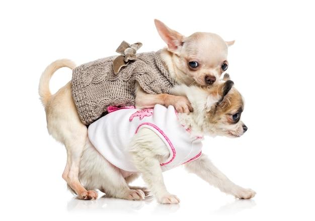 Chiot Chihuahua Isolé Sur Blanc Photo Premium