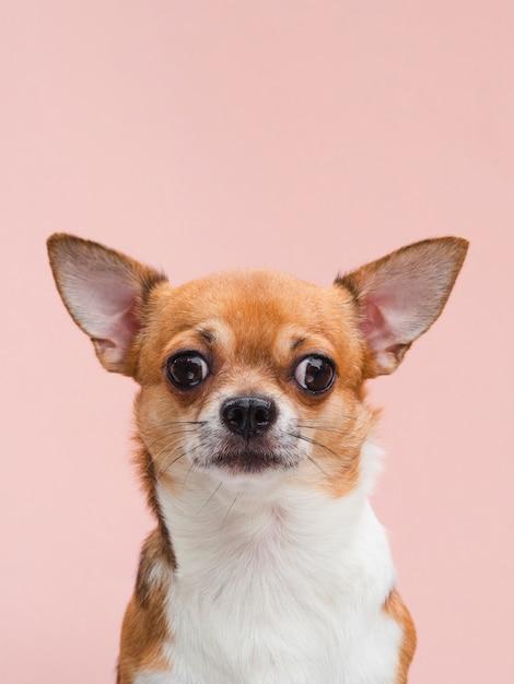 Chiot chihuahua mignon vue de face avec des oreilles alertées Photo gratuit