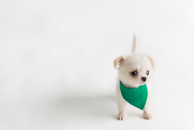 Chiot chihuahua mignon Photo gratuit