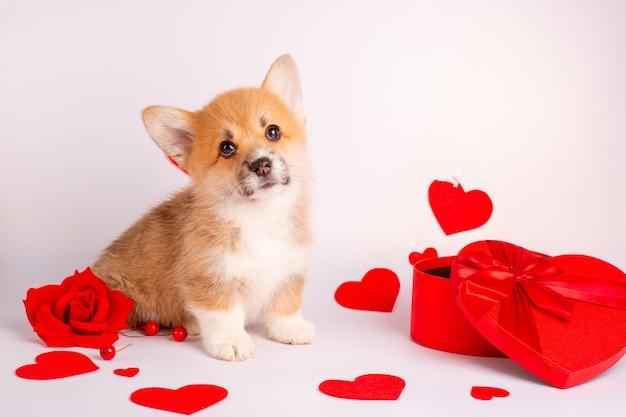 Chiot Corgi Sur Fond Blanc Avec Une Boîte En Forme De Coeur Coeurs Saint Valentin Photo Premium