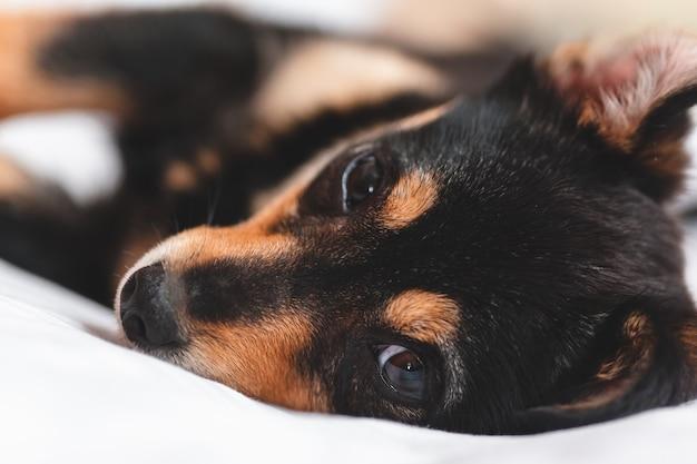 Chiot couché et te regardant. fermer Photo Premium