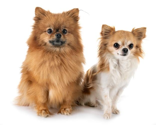 Chiot poméranie et chihuahua Photo Premium