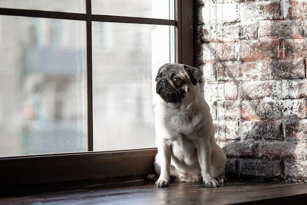 Le Chiot Pug Est Assis Triste à La Fenêtre. Photo Premium