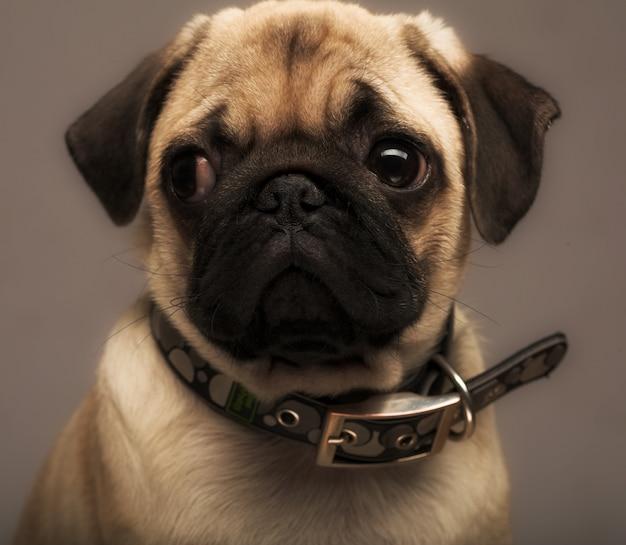 Chiot pug Photo Premium