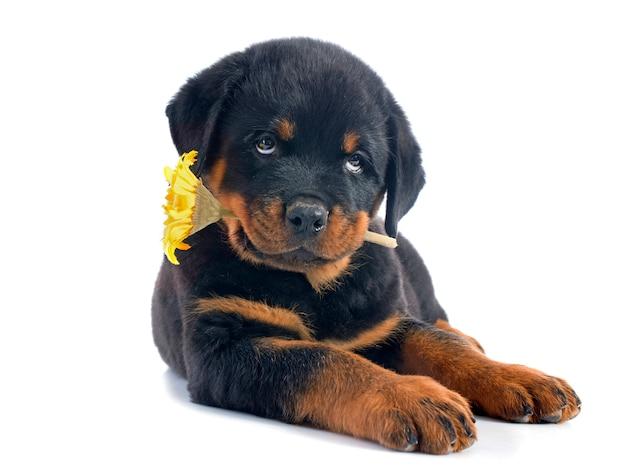 Chiot rottweiler et fleur Photo Premium