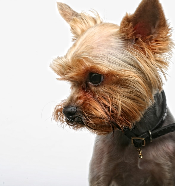 Chiot yorkshire terrier Photo Premium