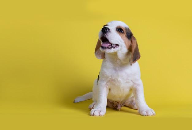 Les chiots beagles bâillent la langue Photo gratuit