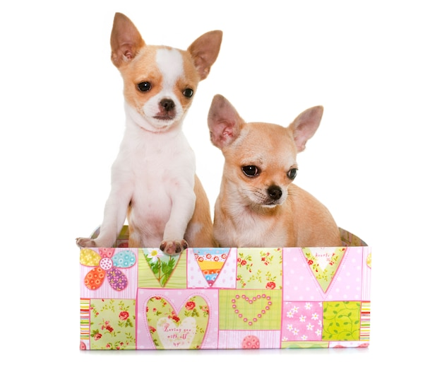 Chiots chihuahua en studio Photo Premium