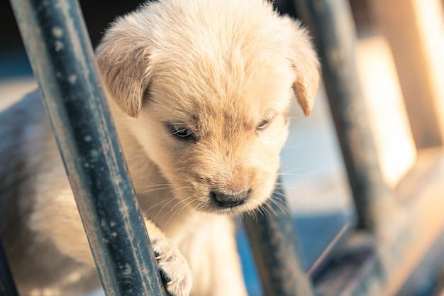Les Chiots Golden Retriever Regardent Dans Des Cages Photo Premium