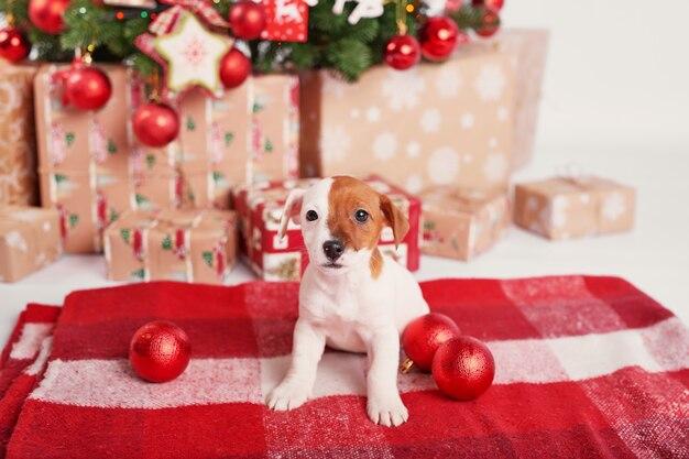 Chiots jack russell terrier à l'intérieur du nouvel an Photo Premium