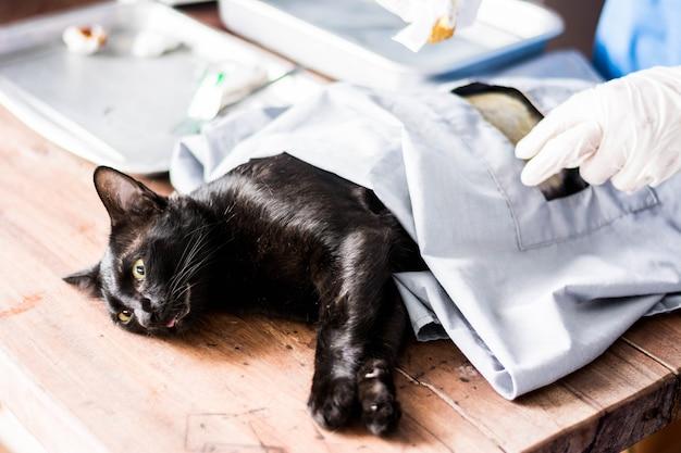 Chirurgie du chat sous anesthésie en stérilisation et stérilisation chirurgicale. Photo Premium
