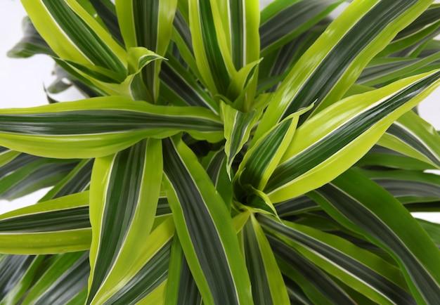 Chlorophytum - plantes à fleurs vivaces à feuilles persistantes Photo Premium